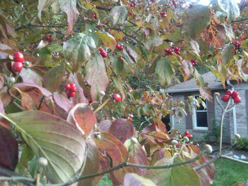 Dogwood Berries 20091010